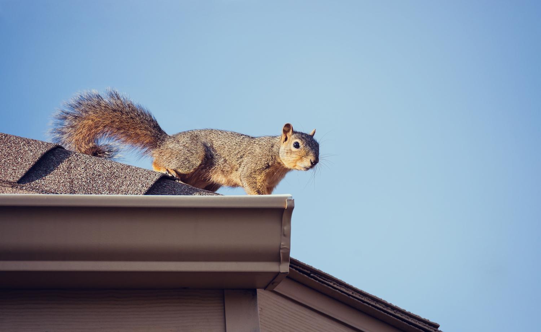 Squirrels in Attics Chewing Wires